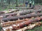 """Drewno z litewskich lasów jest cenione na świecie z powodu swojej jakości, którą potwierdzają certyfikaty branżowe przyznawane prawie """"od ręki"""" Fot. Marian Paluszkiewicz"""