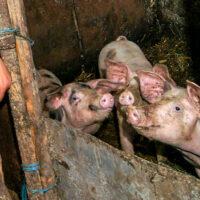 Afrykański pomór świń – chorobę musimy i możemy powstrzymać sami